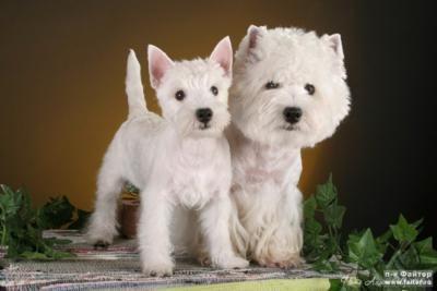 West Highland White Terrier: Favorite Westies, West Highlanders Terriers, Highlanders White, Games For Dogs, Dogs Westies, White Terrior, White Schnauzers, Favorite Pin, White Terriers