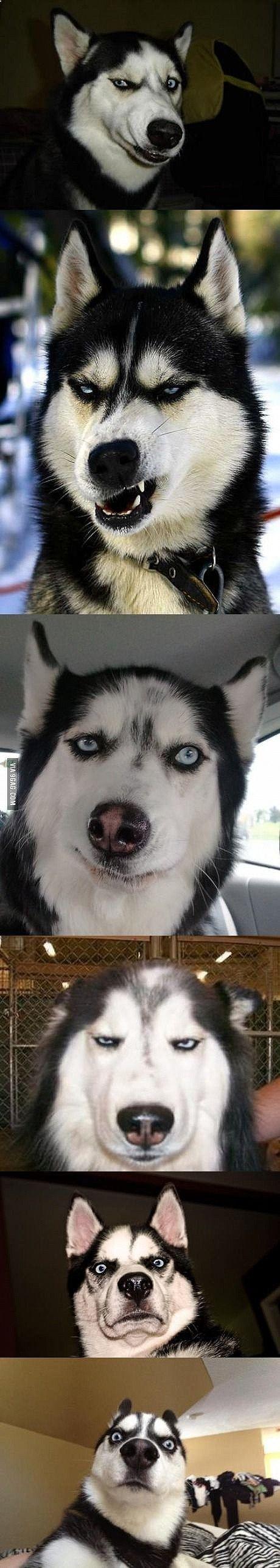 Husky funny faces