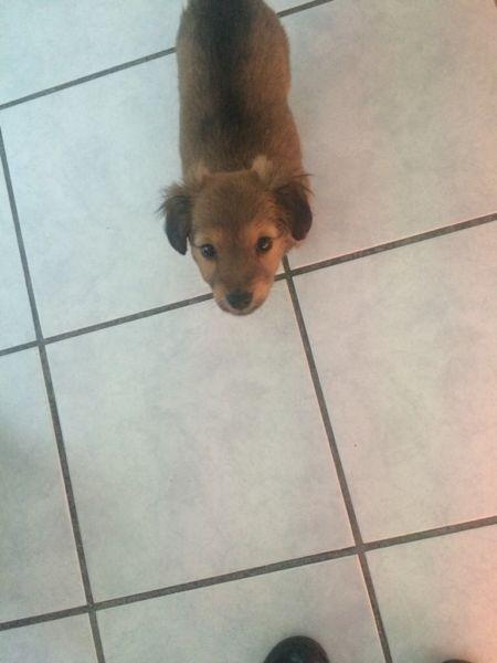 Hallo habe zwei kleine Chihuahua mischlingswelpen abzugeben beides sind Weibchen top fit