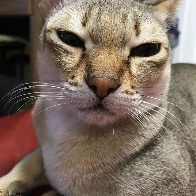 明日はマイナス10度以下らしいよ。  こんなに目を細めなくても( ´∀`) やっぱ寒いのは嫌だよね。 #猫アレルギー #猫画像#愛猫 #猫love#catstagram #cats_of_instagram #lovecat#catlover#ねこすた #ねこすたぐらむ愛猫 #ねこすたぐらむ #しんがぷーら#こうばこ座り #こうばこずわり#にくきゅう #肉球#ねこばか#cat