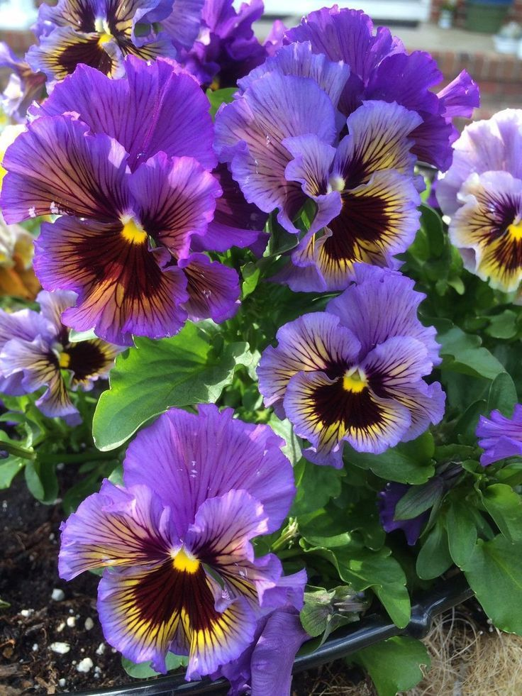Photo Of Pansy Viola X Wittrockiana Frizzle Sizzle Mix Uploaded By Njiris Pansies Flowers Flowers Nature Pansies