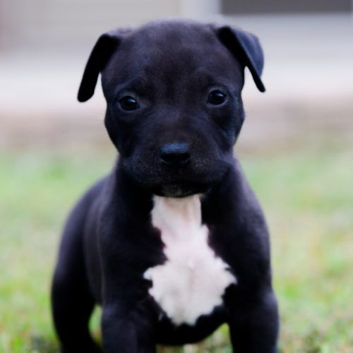 Red Nose Pitbull Puppies For Sale Baby Pitbulls For Sale