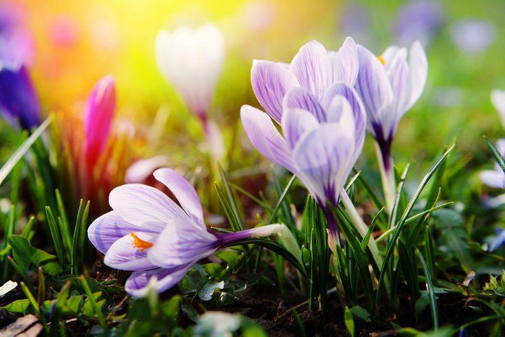 Wiosna, Krokusy, Światło