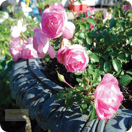 Sweet little carpet rose......ideal for pots  #http://www.searles.com.au #pot #pink #flower #rose #carpet #australia