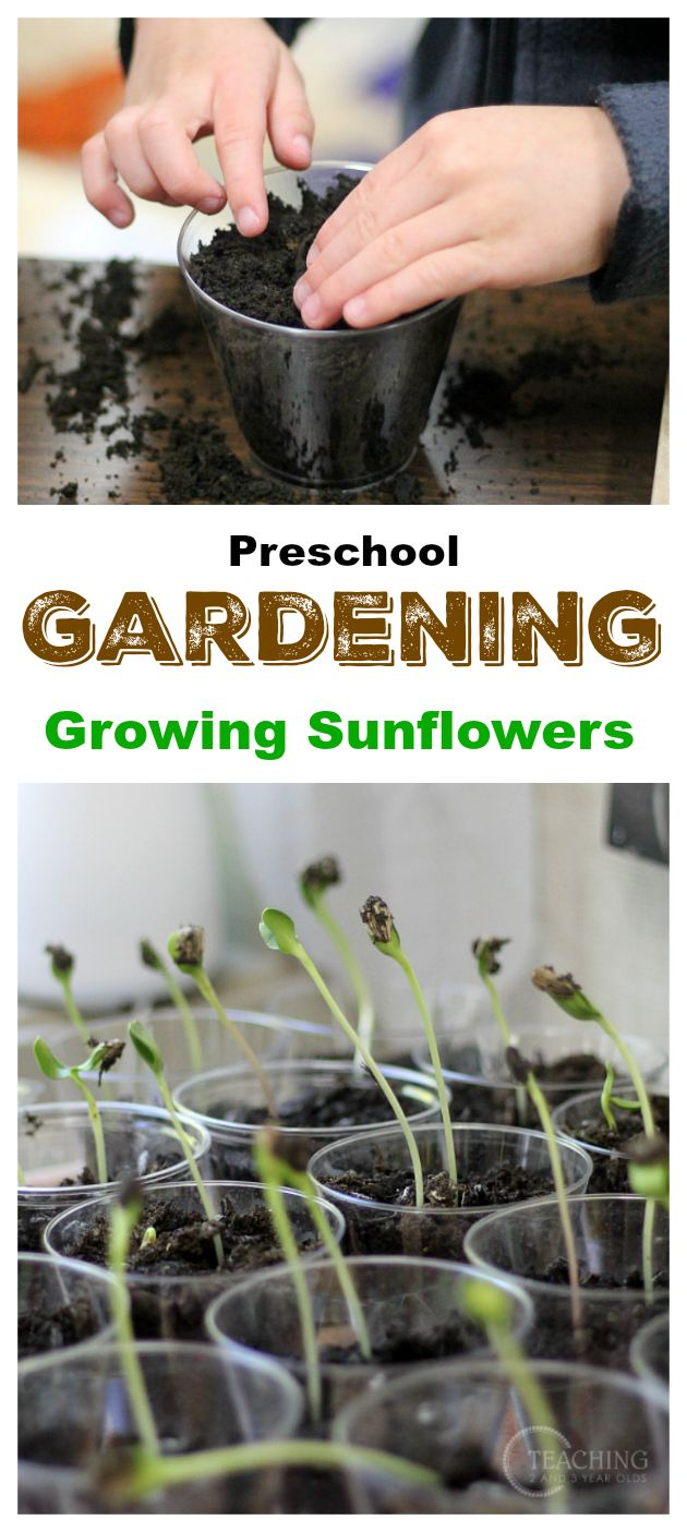 Growing sunflowers with preschoolers - hands-on gardening fun! Teaching 2 and 3 Year Olds