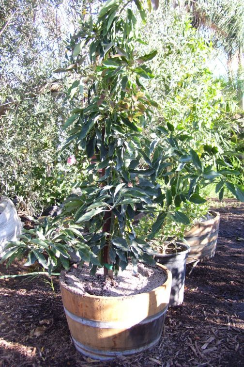 Dwarf Avocado Tree Little Cado In A Wine Barrel Late Summer To Early Winter Fruit Bearing Version Of The H Trees Shrubs