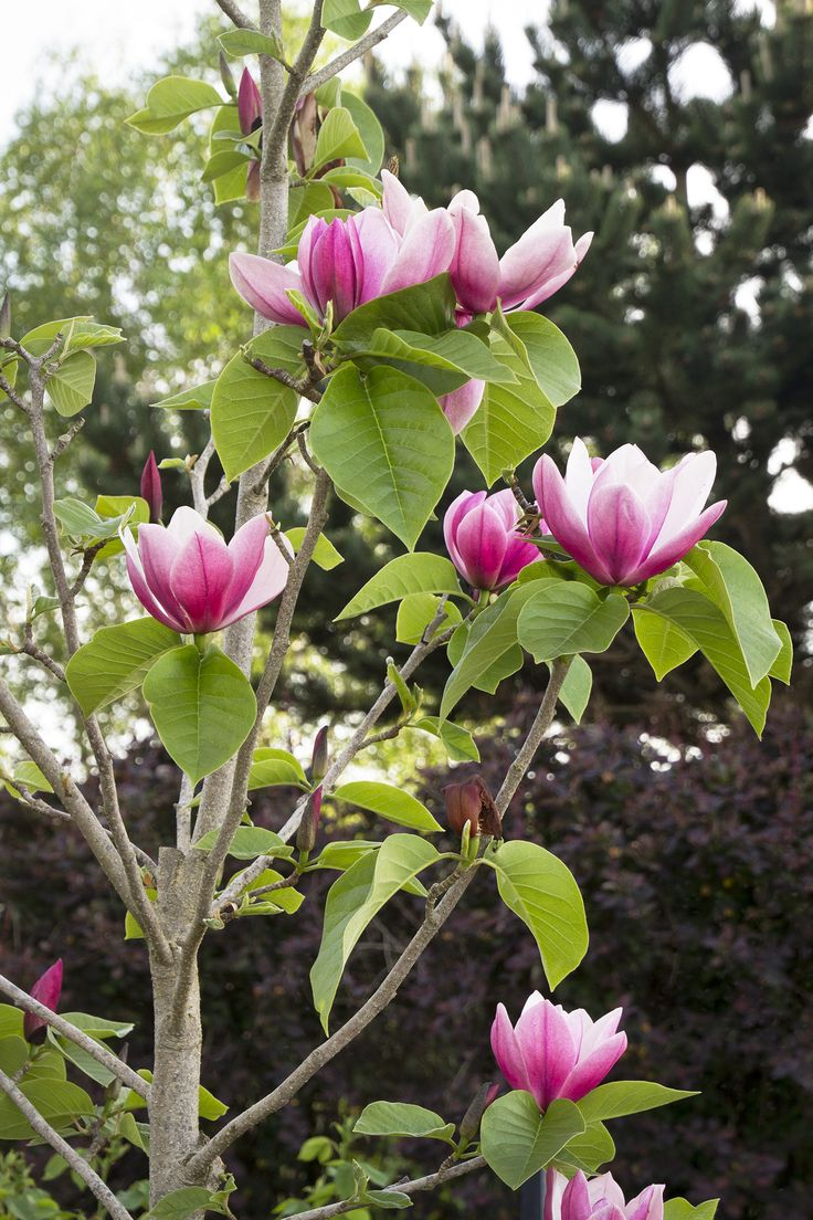 Rose Marie Magnolia is a fantastic new hybrid, valued for its prolific, very late and long blooming habit. Frost-hardy buds open to large, exquisitely shaped, bright pink blooms with a lemony fragrance, providing a show for up to six weeks in spring, nearly four weeks after other varieties. Deep green late spring and summer foliage. Deciduous. Zone 5-8
