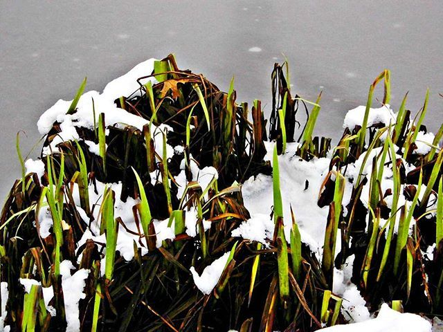 Surviving Cold Temperature!... . . #survive #surviving #cold #temperature #weather #winter #ice #snow #frozen #green #grass #weeds #nature #surviver #photooftheday #photography #lake #elmshorn #schleswigholstein #nordsee #germany #hamburg #instanature #kings_flora #flora #instaflora