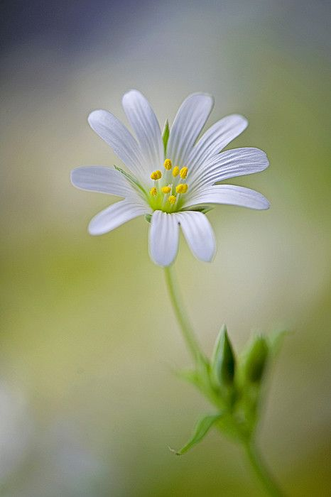 White Greater Stitchwort