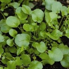 Organic Upland Cress Gourmet Greens Seeds