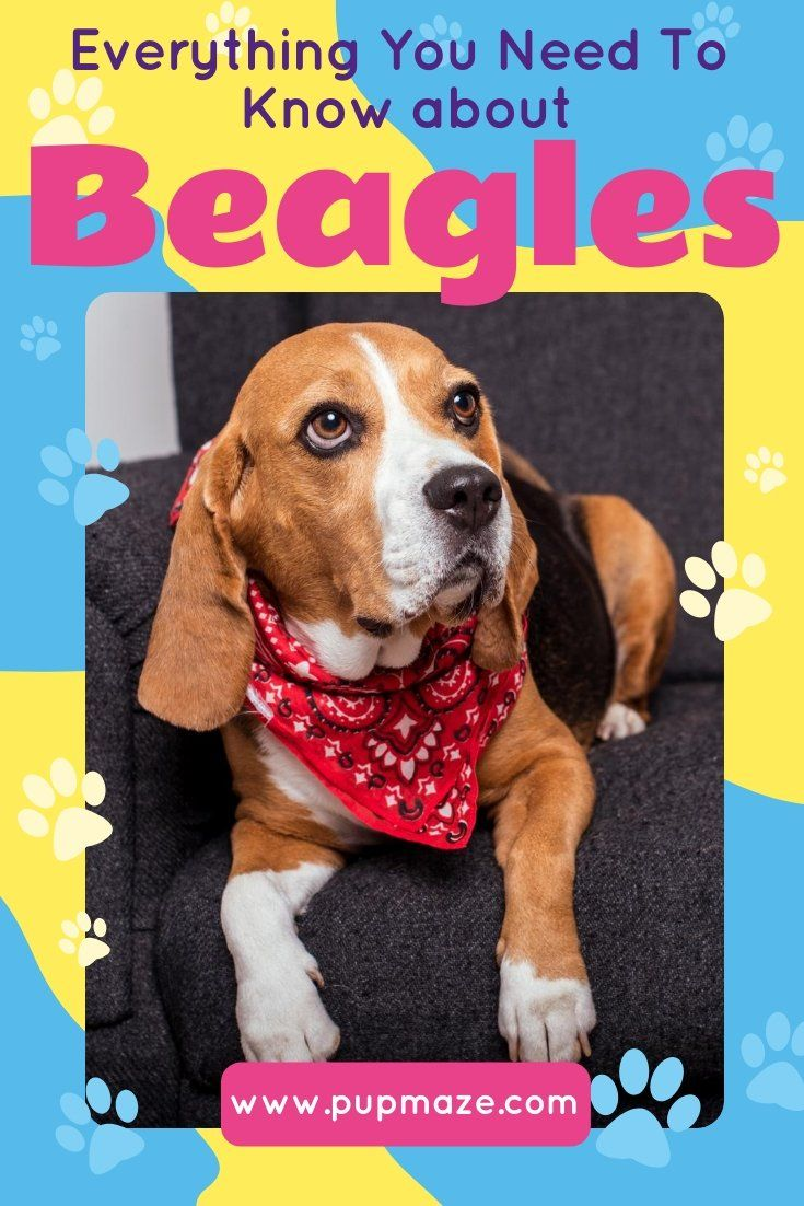 Discover Everything You Need To Know About Beagles These Plucky
