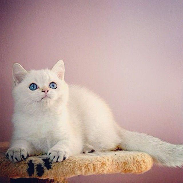 Любители британских кошек - Британские шиншиллы котята