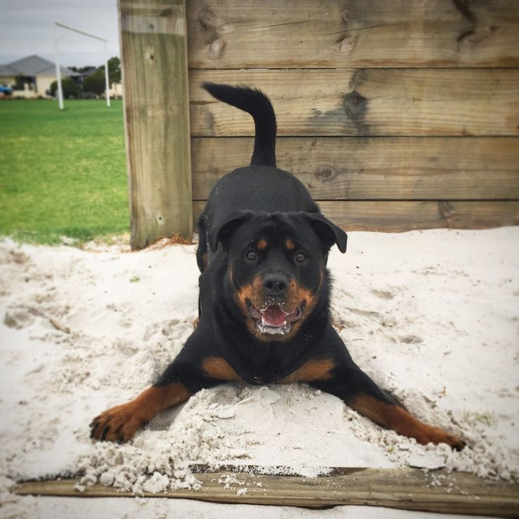 Its my Rottweilers first birthday ! White sand makes for the best zoomies. Perth Au. http://ift.tt/2kPvvzT
