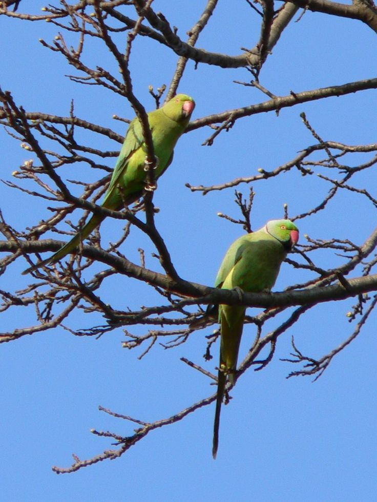 TIL Great Britain has a feral ring-necked parakeet population of around 32000 due to the breeding of escaped or released parakeets dating back to the 1980s.