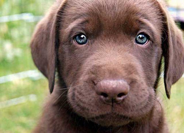 Cuidados com Filhotes de Labrador Marrom