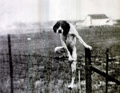 don't fence me in said the English Setter escape artist