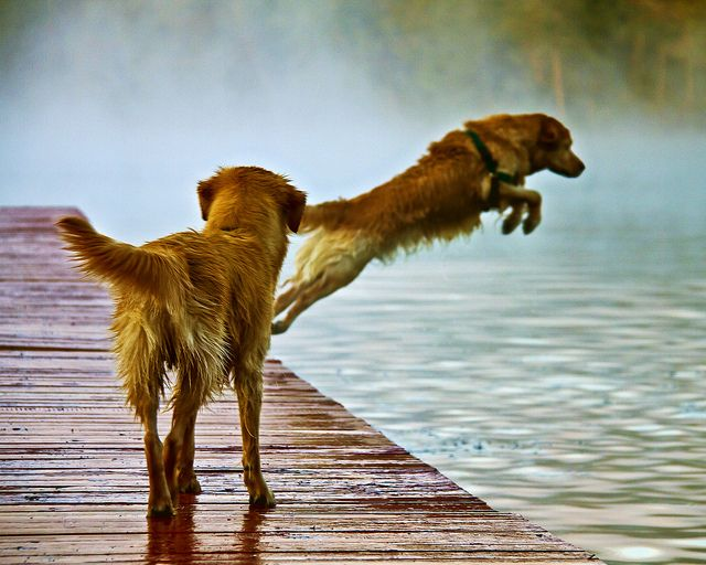 :)    sobphotography.sm...: Animal Lovers, Best Friends, Animal Companion, Golden Retriever In Water, Lakes Life, Golden Retriever Water, Water Dogs, Summer Fun, Dogs Photo