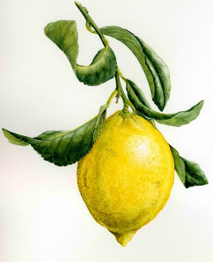 citrus-limon-#watercolor #botanical hazel-west-sherring