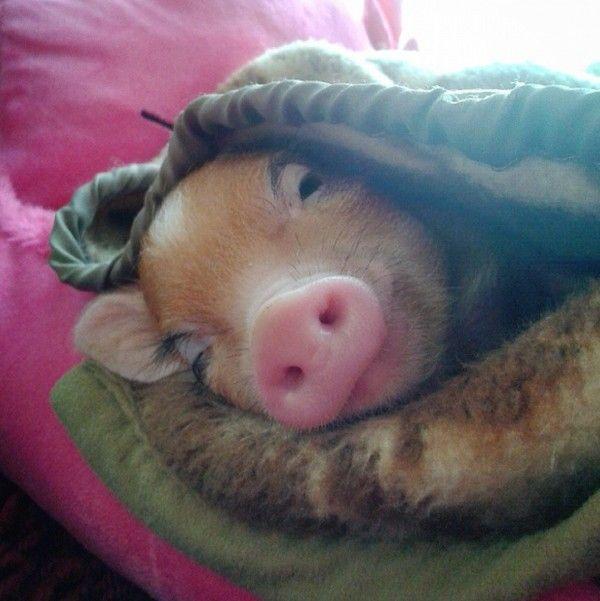 Real pigs in actual blankets | Cuties | Mini pigs, Pigs in ...