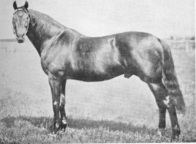 Musket (GB) 1867-1885 B.h. (Toxophilite (GB)-West Australian Mare (GB) by West Australian (GB) Stakes winner in Great Britain & brilliant sire in New Zealand