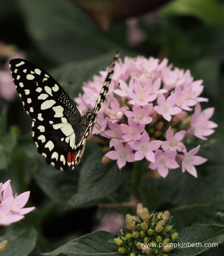 A Chequered Swallowtail butterfly, also known by its scientific name of Papilio demoleus, pictured inside the Butterfly Dome, at the RHS Hampton Court Palace Flower Show 2017.