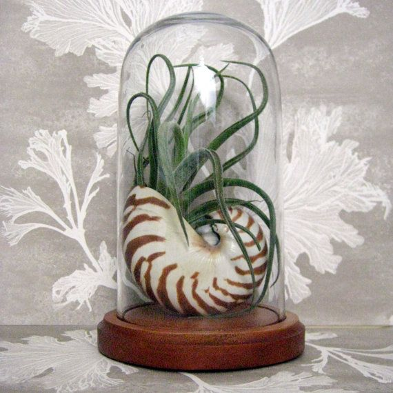 Airplant in Nautilus shell