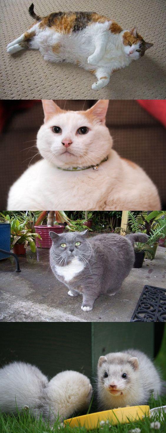 Ejercicios para gatos obesos