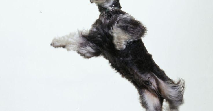 Como aparar e pentear o pelo de um schnauzer miniatura. Donos de schnauzer miniatura são livres para aparar e pentear seu cão como quiserem, mas apenas um estilo é reconhecido como correto para a raça. O schnauzer miniatura tem uma camada dupla de pelo, com a camada de cima dura e a de baixo macia. Costuma-se aparar as camadas para alcançar um penteado padrão à raça, com uma cabeça em formato quadrado ...