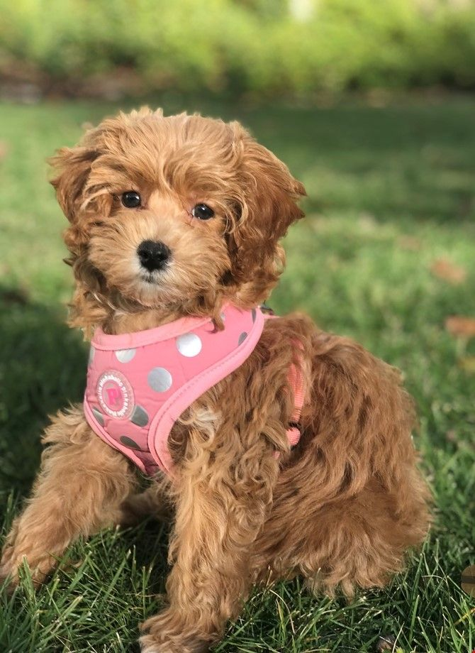 11 Pros And 11 Cons Of Cavapoo Puppies Breed Cavapoo Puppies Puppy Breeds Cavapoo Puppies For Sale