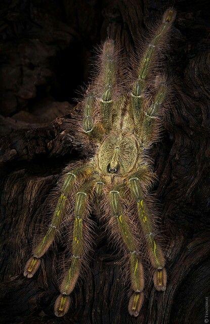 Tarantula~