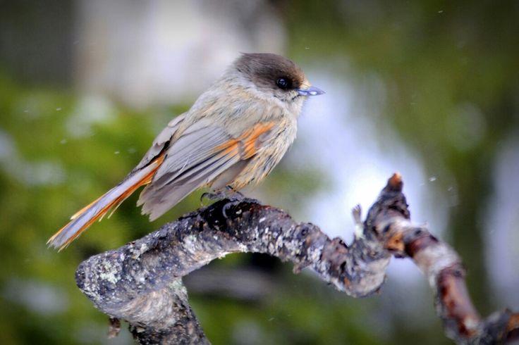 Siberian Jay, Perisoreus infaustus, Kuusamo