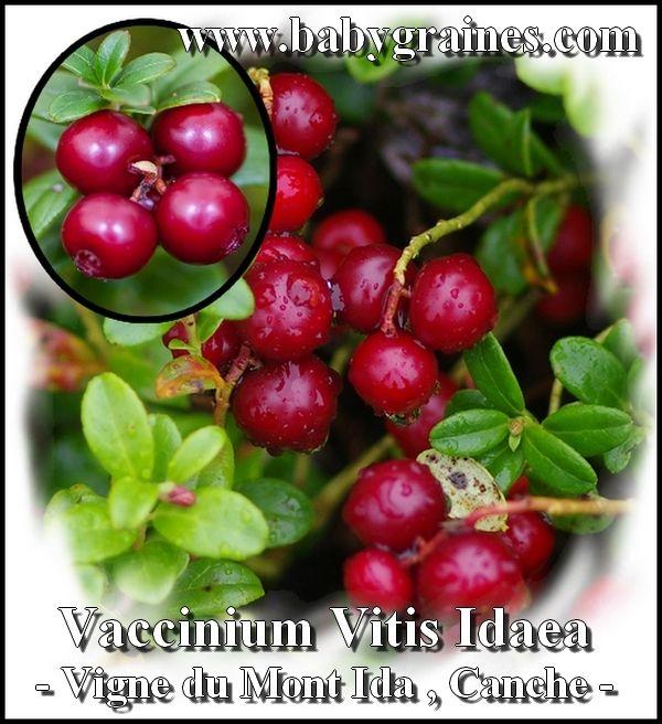 Vaccinium Vitis Idaea , Vigne du Mont Ida