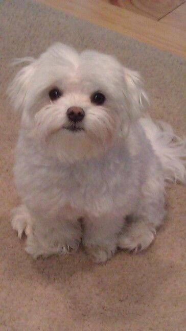 Cutest dog in the universe!! Not that I'm biased, or anything, but his dad won best Maltese at Westminster this year!