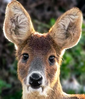 http://www.bds.org.uk/index.phpA newborn Chinese water deer is so small it can almost be held in the palm of the hand.Chinese water deer is a small species. Both adult males (bucks) and females (does) sexes only reach a height of 50 – 55 cm at the shoulder and weigh 11 – 18 kg.