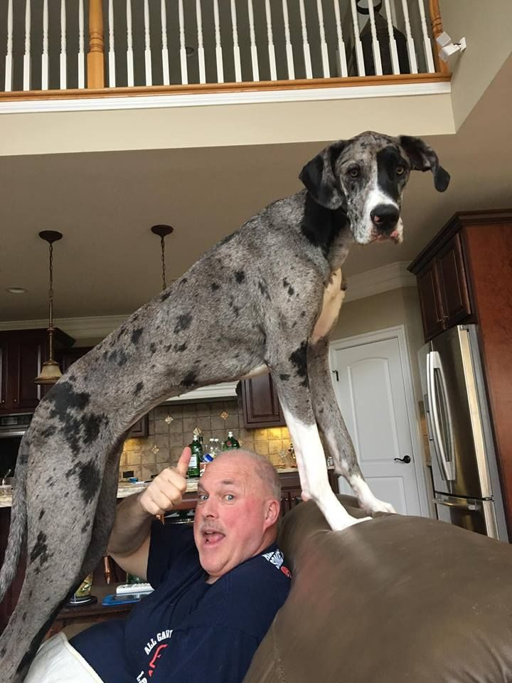 Stella The Merle Great Dane Hurdling Her Dad Lol Great Dane