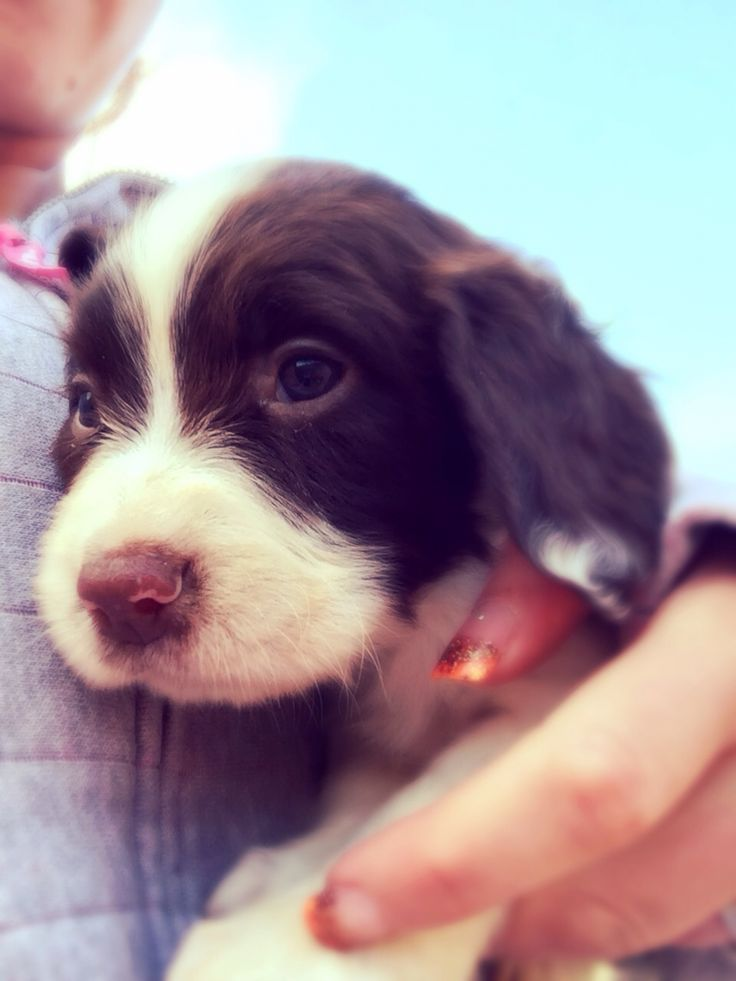 English springer spaniel puppy. Our Lady chips :-) Love and white