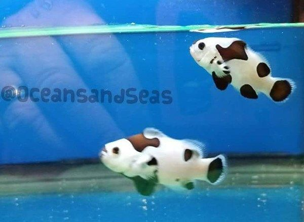 Black Storm Clownfish23 Clown Fish Fish Pet Fish
