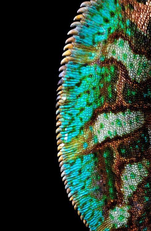 Back crest of a chameleon