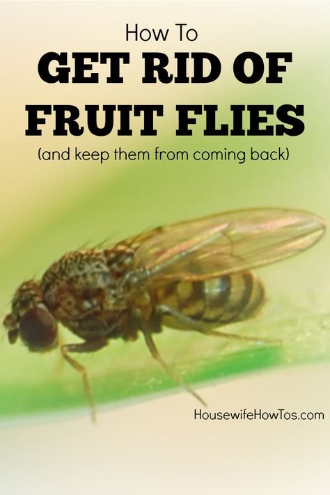 These Tips On How To Get Rid Of Fruit Flies Finally Got The Things Out My House For Good