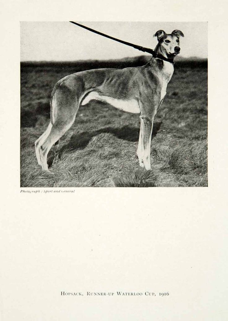 1921 Print Hopsack Runner-Up Waterloo Cup Coursing Greyhound Breed Dog TGC1