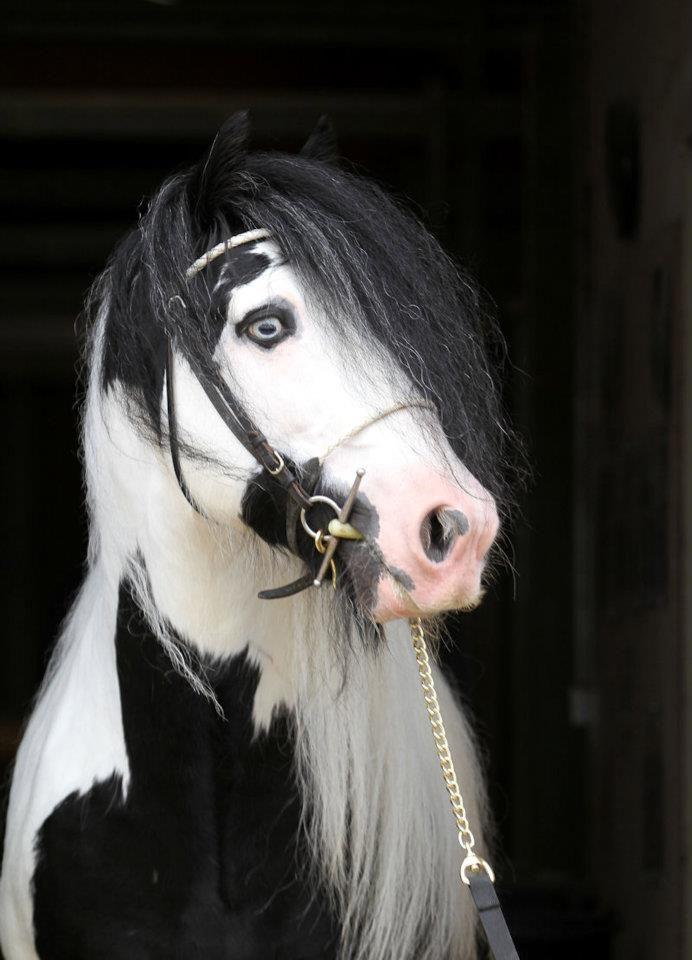 Stallion...