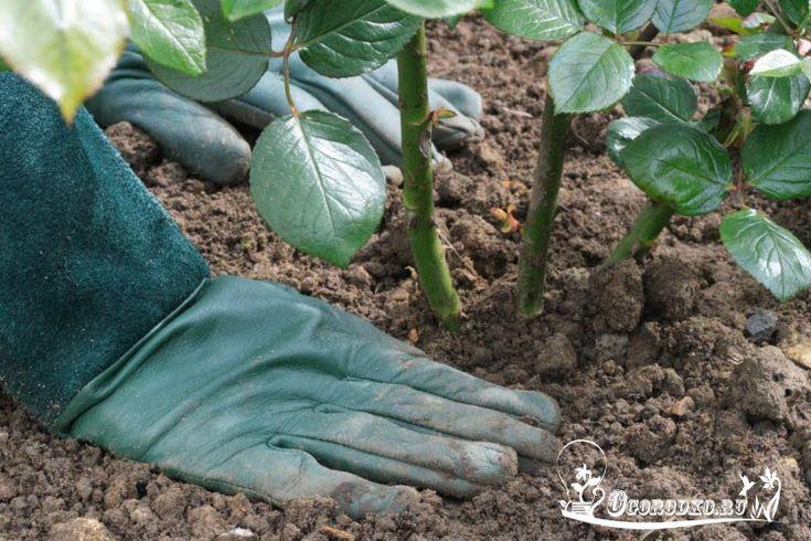Посадка роз, когда лучше сажать розы, правила посадки, узнайте нужно ли удобрять розу во время посадки, как поливать розу после посадки в открытый грунт
