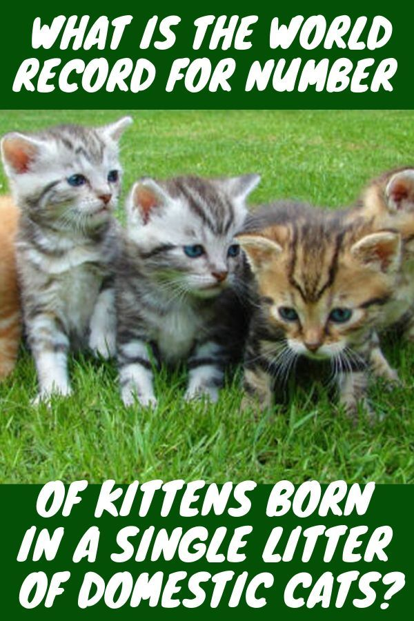 What Is The World Record For Number Of Kittens Born In A Single Litter Of Domestic Cats Kitten Tips Caring For A Kitten Kitten Care Kit Cats Kittens Domestic Cat