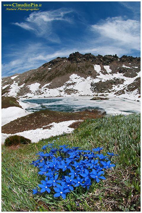 gentiana verna, fiori di montagna, alpini, fotografia, foto, alpine flowers, Gran paradiso