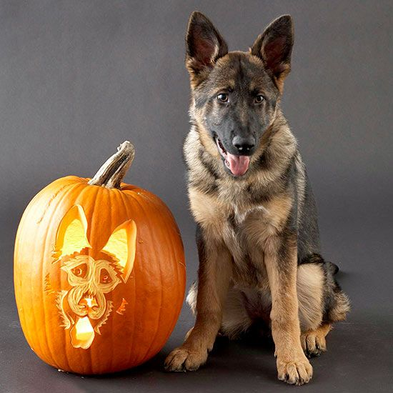 german shepherd spider costume 17 best images about german shepard halloween costumes on 200