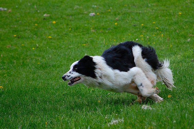 Border Collie - Sheep Herding / Rassemblement de moutons by Microcontroleur, via Flickr