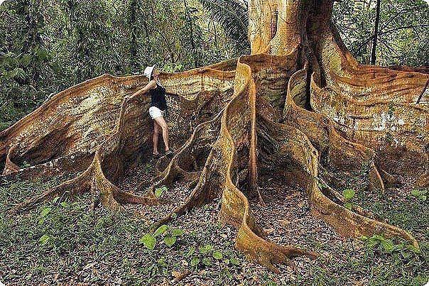 Удивительное дерево в Коста-Рика