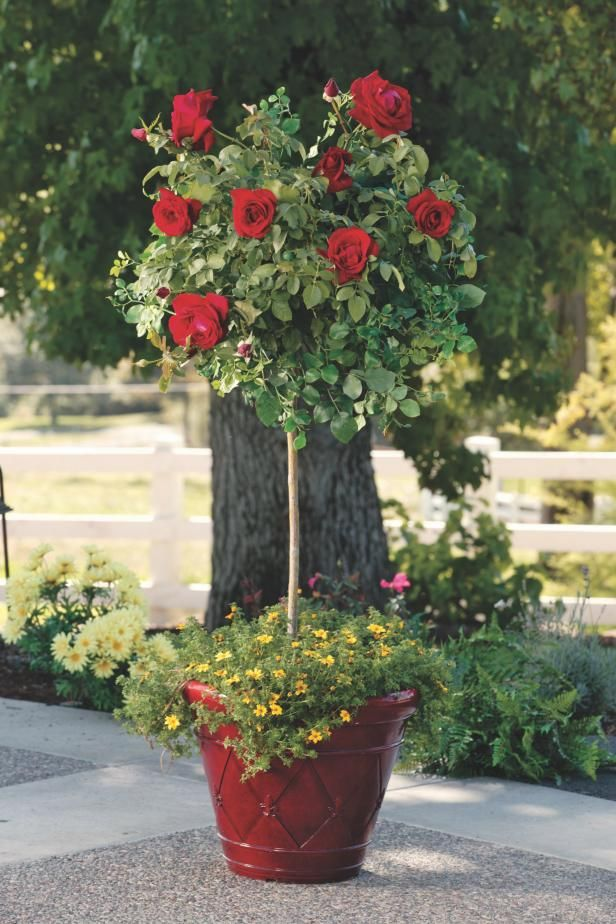 How To Grow Patio Roses In Containers Rose Garden Design Planting Roses Rose Trees