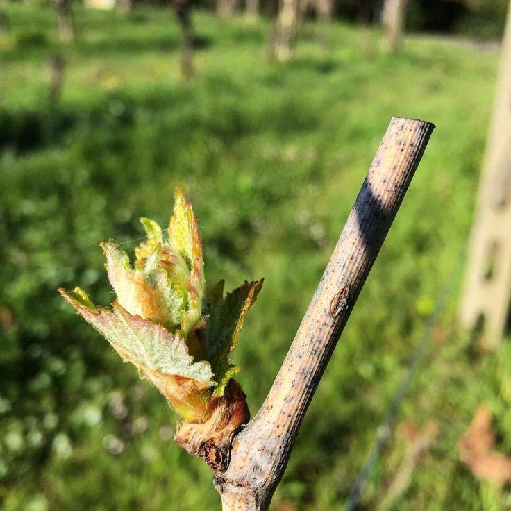 #buds #budbreak2016 #budbreak #germogliamento @fattoriasardi #collinelucchesi #toscana #lucca #luccabiodinamica #organic #bio #vigne #vineyards