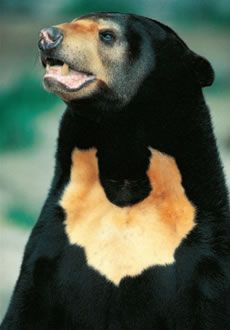 The Sun Bear, sometimes called the honey bear, is the smallest and least studied member of the bear family. Today, the sun bear exists in forests throughout Southeast Asia.  Because they are so rare, research on sun bears is difficult.